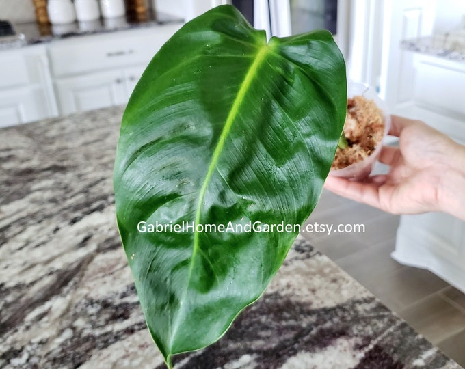 005 - Philodendron Esmeraldense [Rooted Cutting]. Please read terms.