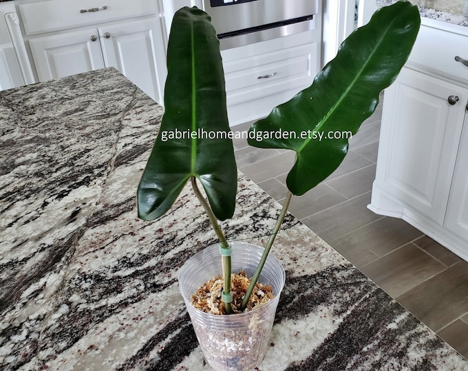 007 - Philodendron Atabapoense [Rooted Cutting]. Please read terms.