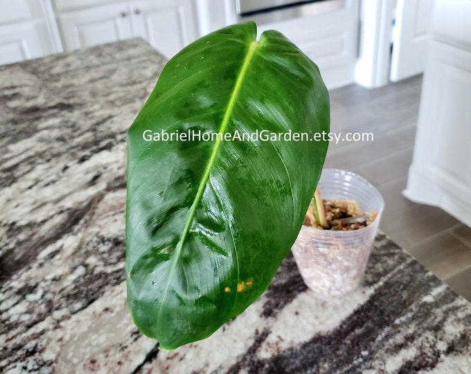 006 - Philodendron Esmeraldense [Rooted Cutting]. Please read terms.