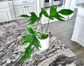 18 [LARGE]  Philodendron Mint Florida Ghost. Healthy Established Roots. Please read terms.
