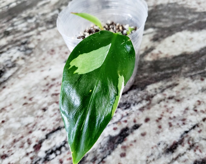 004 - Philodendron White Princess [Rooted Cutting].  Please read terms.