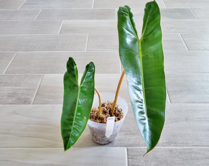 006 - Philodendron Billietiae. Please read terms.