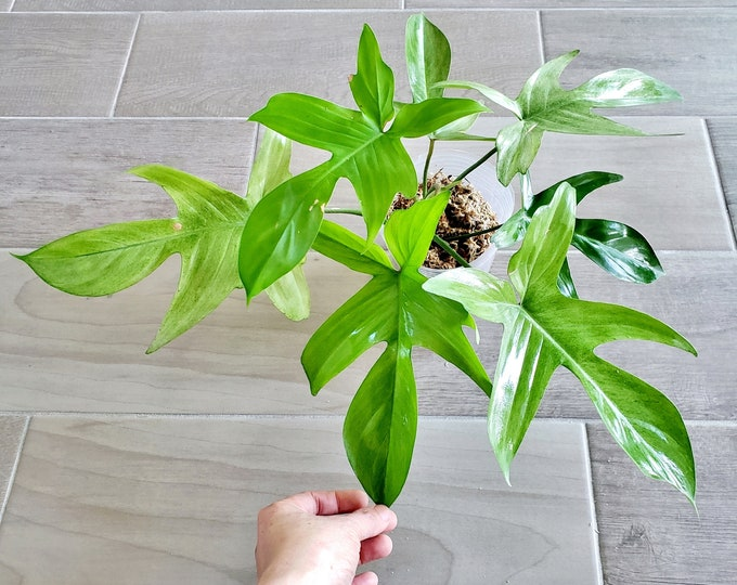 020 - Mint Philodendron Florida Ghost. Please read terms.