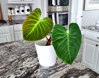 18 [LARGE]  Philodendron El Choco Red. Healthy Established Roots. Please read terms.