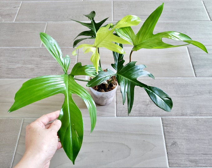 022 - Mint Philodendron Florida Ghost. Please read terms.