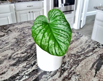 Philodendron Mamei Silver Cloud. Very Healthy & Established Roots Please read terms.