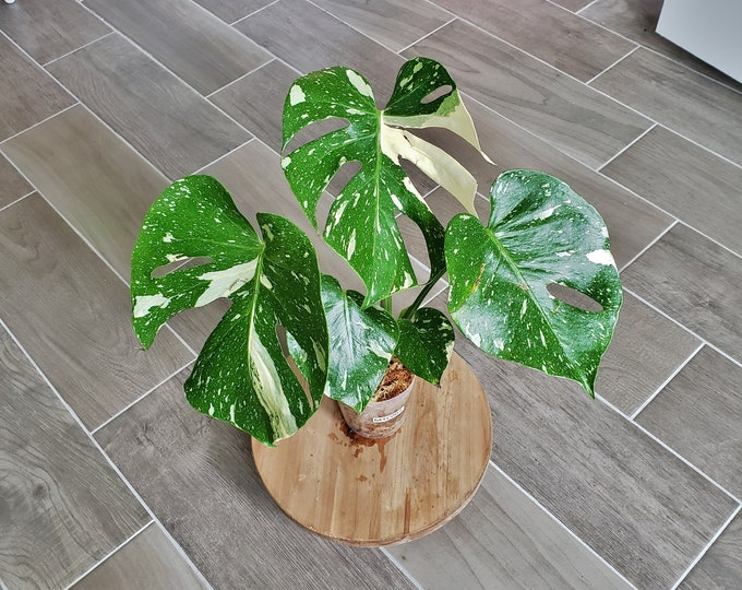 US SELLER! Medium Size Monstera Thai Constellation. Very Healthy & Established with Good Variegation MTC07 - Please read terms.
