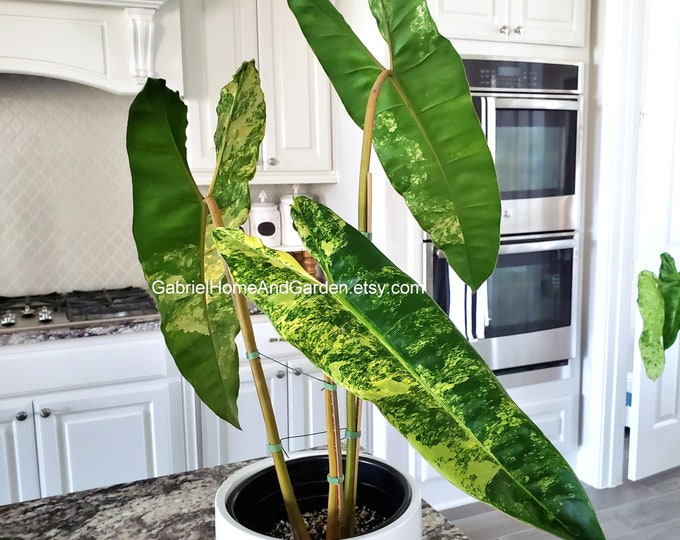006 - Variegated Philodendron Billietiae [3 Leaves with Growth Point]. Please read terms.