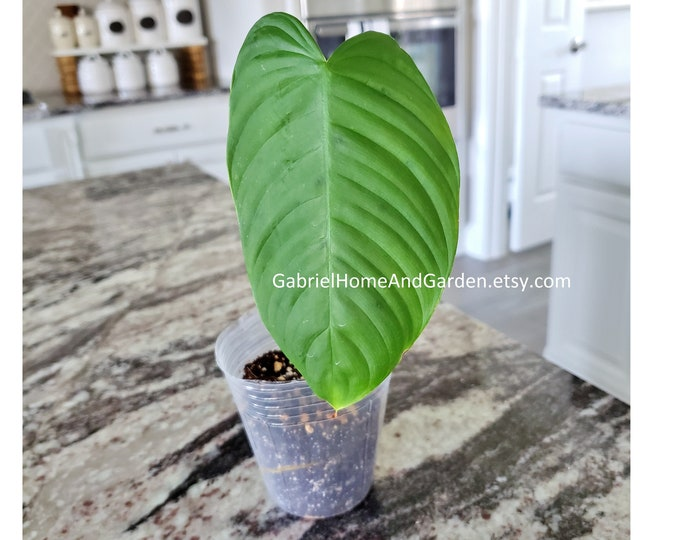 001 - Philodendron Grandipes [Rooted Cutting]. Please read terms.