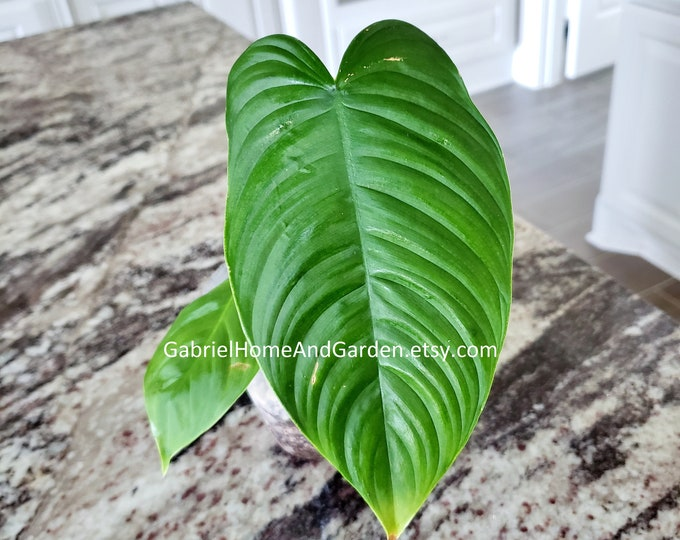 004 - Philodendron Tenue [Rooted Cutting]. Please read terms.