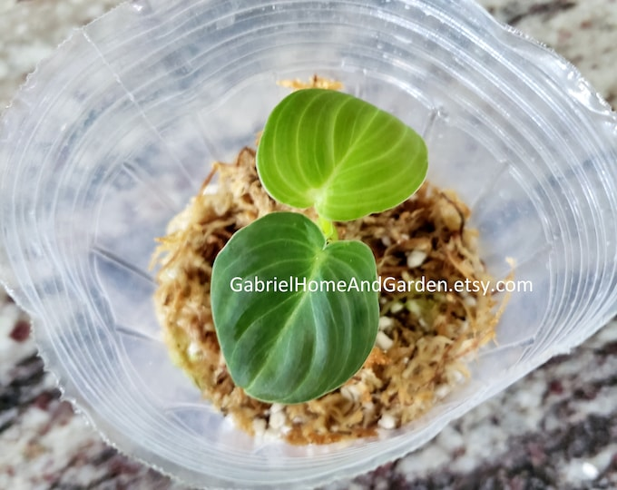 004 - Philodendron Melanochrysum [Small Rooted Cutting]. Please read terms.
