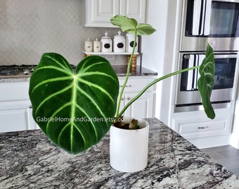 001 - Philodendron Luxuruans. Please read terms.