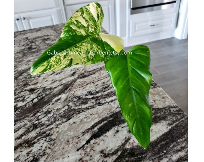 004 - Philodendron Variegated Domesticum [Rooted Cutting]. Please read terms.