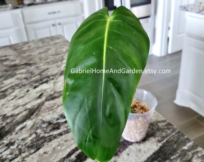 003 - Philodendron Esmeraldense [Rooted Cutting]. Please read terms.
