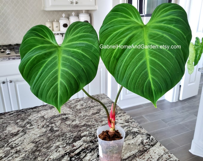 002 - EXTRA LARGE Philodendron El Choco Red.  Please read terms.