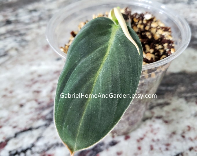 003 - Philodendron Gigas [Rooted Cutting with Growth]. Please read terms.