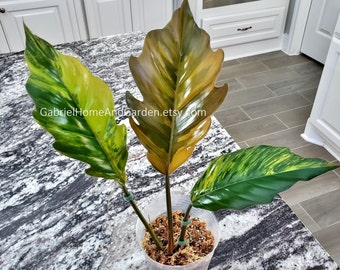 002 - ULTRA HIGH VARIEGATED Philodendron Caramel Marble. Please read terms.