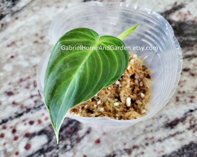 012 - Philodendron Melanochrysum [Rooted Cutting]. Please read terms.