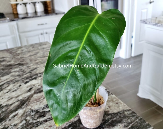 004 - Philodendron Esmeraldense [Rooted Cutting]. Please read terms.