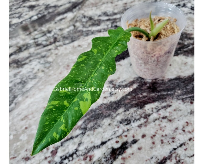 001 - Philodendron Ring of Fire. Please read terms.