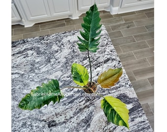 003 - ULTRA HIGH VARIEGATED Large Philodendron Caramel Marble. Please read terms.