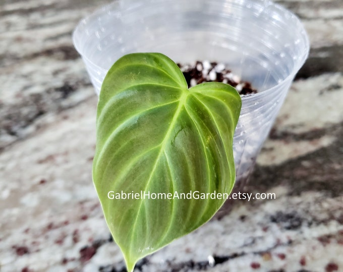 006 - Philodendron 'Splendid' (Melanochrysum x Verrucosum) [Small Rooted Cutting]. Please read terms.