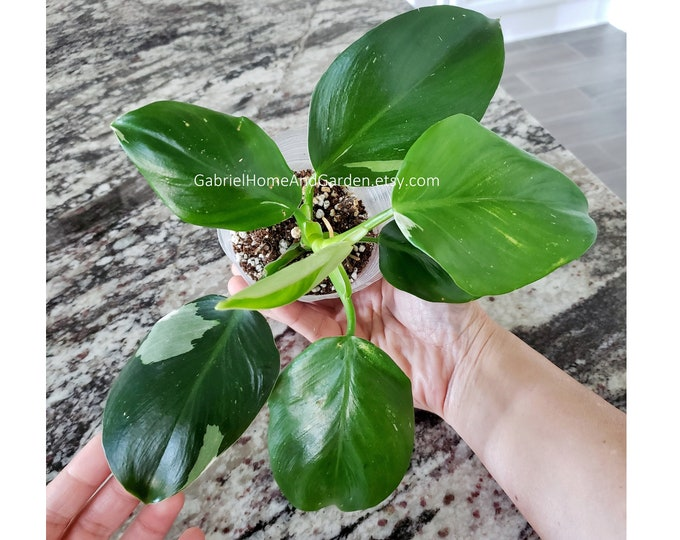 009 - Philodendron White Wizard. Please read terms.