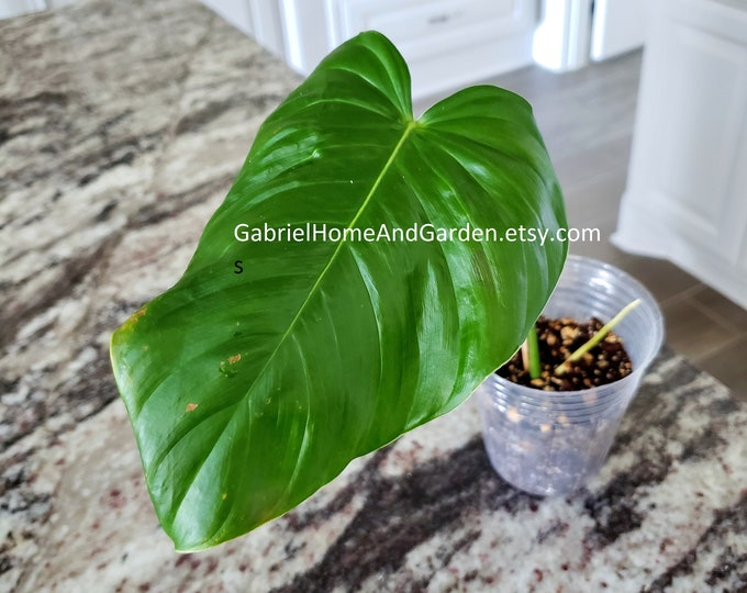 002 - Philodendron Grandipes [Rooted Cutting]. Please read terms.