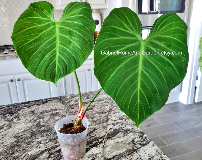 001 - EXTRA LARGE Philodendron El Choco Red.  Please read terms.