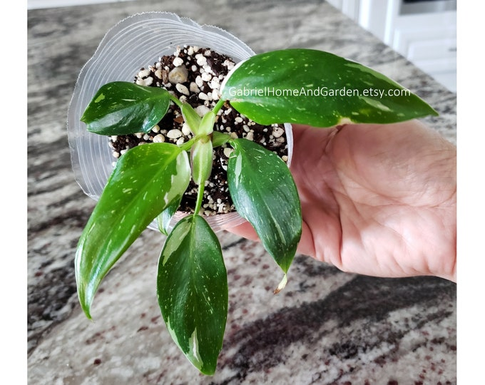 009 - Philodendron White Princess.  Please read terms.