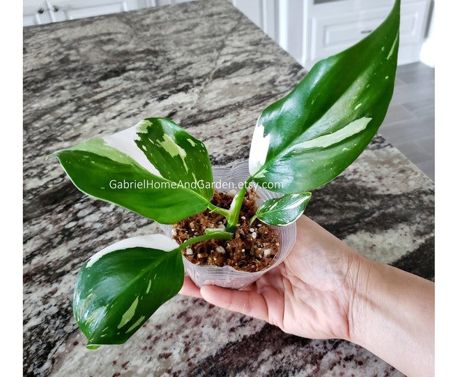 011 - Philodendron White Wizard. Please read terms.