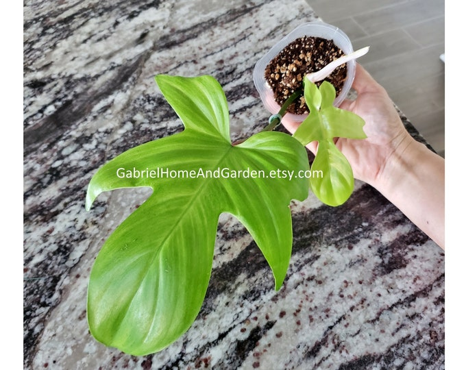 008 - Philodendron Florida Ghost [Rooted Cutting with Growth]. Please read terms.