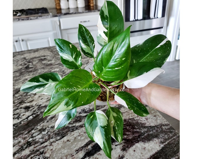 0014 - Philodendron White Princess.  Please read terms.