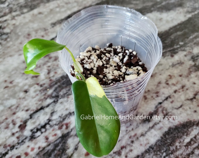 004 - Philodendron Florida Beauty [Small Rooted Cutting]. Please read terms.