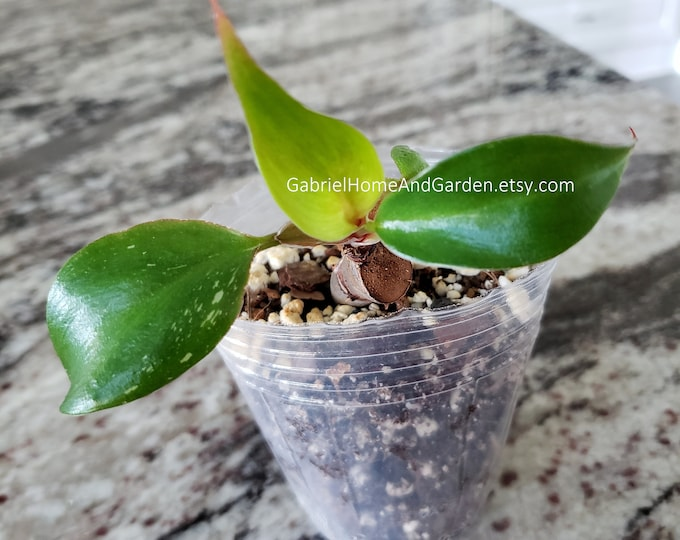 001 - Philodendron White Knight. Please read terms.