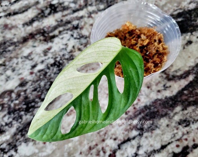 013 - Variegated Monstera Adansonii - Japanese Tricolor Variegata [Rooted Cutting]. Please read terms.