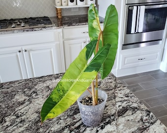 001 -  Variegated Philodendron Billietiae. Please read terms.