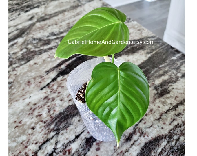 003 - Philodendron Grandipes [Rooted Cutting]. Please read terms.