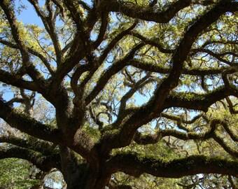 Gnarled live oak