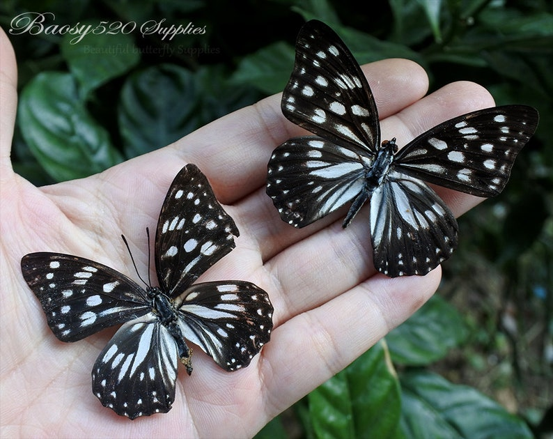 for Earring  and jewellery Black White Butterfly  B025 nature butterfly Real butterfly Spread butterfly Hestina persimilis butterflies