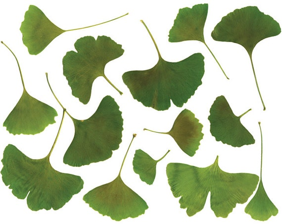 clip art ginkgo leaf clipart real leaves high etsy