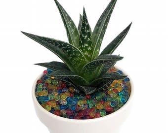 "Live Succulent in Ceramic Pot/Saucer plus Magic Water Beads - 4.5"" x 4.3"""