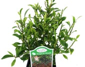 Tiny Limey Weeping Fig - Ficus - 2.5 quot Pot - Fairy Garden Plant or Bonsai