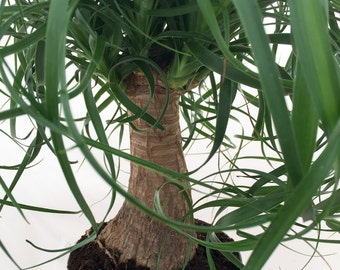 "Guatemalan Red Ponytail Palm - Beaucarnea - 6"" pot - Easy to Grow"
