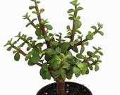 Mini Jade Plant - Portulacaria afra - 4 quot Pot