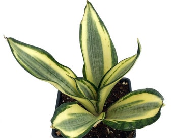 "Golden Hahnii Birdsnest Snake Plant -Sanseveria-Almost Impossible to Kill-4"" Pot"