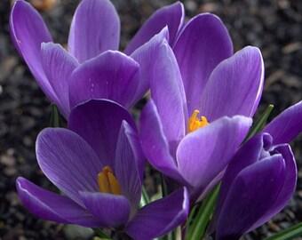c09b36f8d681e2 Grand Maitre Giant Crocus 20 Bulbs - Large Lavender Blue - 8 9 cm