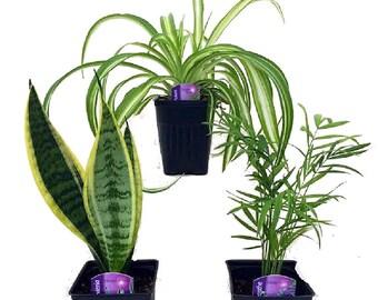 "Hirt's House Plant Collection - Includes Snake Plant / Spider Plant / Parlor Palm - 4"" Pots"