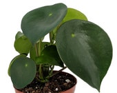 Raindrop Chinese Money Plant - Peperomia polybotrya - 2.5 quot Pot - Easy to Grow
