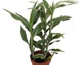 White Edged Lucky Bamboo Plant - Dracaena sanderiana - 2 Pack 3 quot Pot
